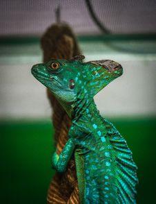 Free Green Chameleon On Brown Wood Slab Royalty Free Stock Photos - 109916258