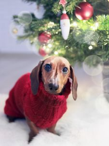 Free Dachshund Dog Wearing A Red Sweater Royalty Free Stock Photo - 109916265