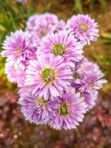 Free Purple Asters Closeup Photo At Daytime Stock Images - 109916294