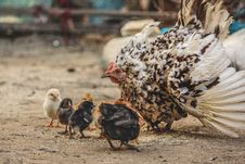 Free White And Black Hen Beside Chicken Chicks Stock Photography - 109916372