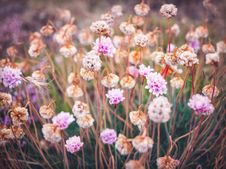 Free Pink Sea Thrift Flowers Stock Photos - 109916383