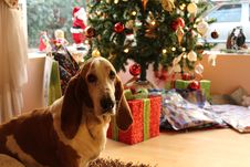 Free Tan And White Basset Hound Near The Christmas Tree Royalty Free Stock Photos - 109916398