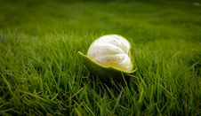 Free Peeled Green Lime On Green Grasses Stock Photos - 109916613
