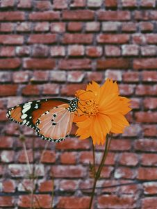 Free Queen Butterfly On Orange Petaled Flowers Royalty Free Stock Photos - 109916618