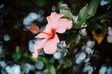 Free Close-Up Photography Of Hibiscus Flower Royalty Free Stock Photography - 109916847