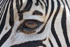 Free Zebra S Eye Stock Image - 109916971