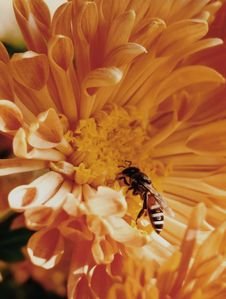 Free Close-Up Photo Of Honey Bee On Yellow Petaled Flowers Royalty Free Stock Image - 109917016
