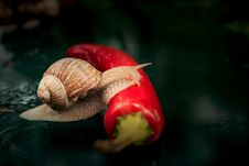 Free Brown Snail Crawling On Red Chili Stock Photo - 109917050