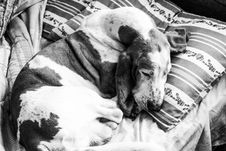 Free Grayscale Photography Of Basset Hound Sleeping Stock Image - 109917051