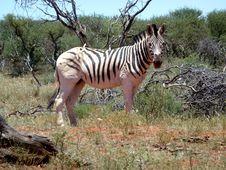 Free Zebra Near Log And Bushes Royalty Free Stock Photo - 109917085