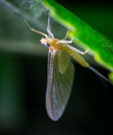 Free Macro Photo Of A Beige Mayfly On Green Leaf Stock Images - 109917144