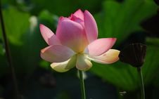 Free Pink Lotus Flower In Close Up Photography Royalty Free Stock Image - 109917166