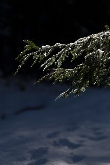 Free Photo Of Pine Tree Leaves With Snow Royalty Free Stock Image - 109917256
