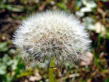 Free White Dandelion Closeup Photo Royalty Free Stock Images - 109917259