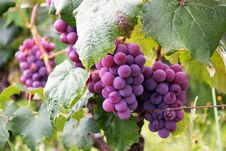Free Several Bunch Of Grapes Stock Photography - 109917572