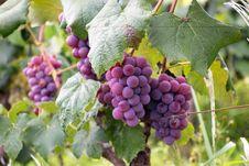 Free Purple Grapes Stock Photos - 109917663
