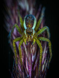 Free Macro Photography Of Lynx Spider Royalty Free Stock Photos - 109917748