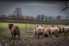 Free Herd Of Brown And Beige Sheep On Field Under Gray Sky Stock Images - 109917774