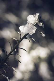 Free Plant Covered With Ice Royalty Free Stock Photography - 109917817