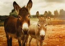 Free Two Brown Donkeys Royalty Free Stock Image - 109918236