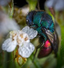 Free Blue And Red Cuckoo Wasp In Closeup Photo Royalty Free Stock Images - 109918319