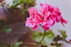 Free Pink Clustered Flower Stock Photography - 109918482