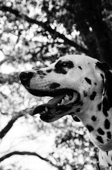 Free White And Black Dalmation Stock Photos - 109919013