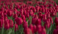 Free Red Tulip Flower Field Close-up Photo Stock Images - 109919104