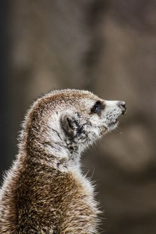 Free Closeup Photography Of Brown Meerkat Stock Photos - 109919163