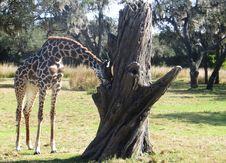 Free Giraffe Beside Gray Dead Tree Stock Photo - 109919190