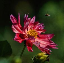 Free Macro Photography Of Bee Hovering On Pink Petaled Flower Stock Photography - 109919192