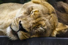 Free Lioness Closing Its Eyes Stock Image - 109919281