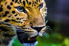 Free Photography Of Cheetah Royalty Free Stock Images - 109919339