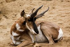 Free Brown And White Buck Animal Royalty Free Stock Images - 109919429
