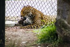 Free Leopard Lying Beside Gray Metal Chain Link Fence Stock Images - 109919474