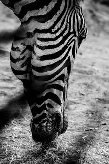 Free Grayscale Photo Of Zebra S Head Royalty Free Stock Images - 109919479