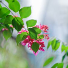 Free Close-Up Photography Of Pink Flowers Near Leaves Stock Photography - 109919482