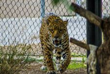 Free Growling Leopard Inside Enclosure Royalty Free Stock Image - 109919496