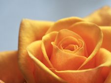 Free Close Up Photo Of Yellow-Orange Rose Stock Photo - 109919560