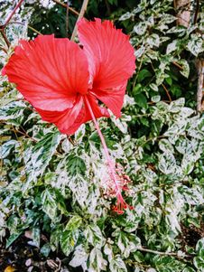 Free Red Hibiscus Stock Photography - 109919642