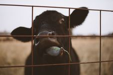 Free Black Calf Behind Steel Fence Royalty Free Stock Photography - 109919697