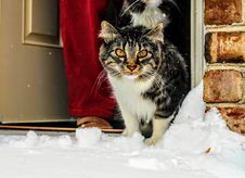 Free Brown, White And Black Maine Coon Cat In Front Of Gray Wooden Door Stock Photo - 109919750