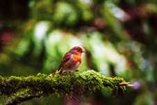 Free European Robin Perched On Branch Royalty Free Stock Image - 109919826