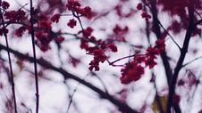 Free Selective Focus Photography Of Cherry Blossom Royalty Free Stock Photography - 109919887