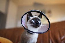 Free Siamese Cat Wearing Colar Cone Royalty Free Stock Photos - 109919938