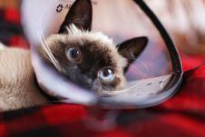 Free Siamese Cat Stock Image - 109920061
