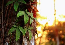 Free Green Leafed Plant Hanged On Brown Surface Royalty Free Stock Images - 109920209