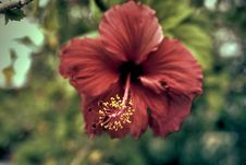 Free Red Hibiscus Flower In Closeup Photography Stock Image - 109920251