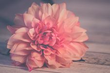 Free Pink Dahlia Flower In Bloom Stock Photos - 109920423