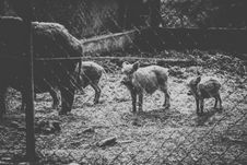 Free Grayscale Photo Of Wild Boars Royalty Free Stock Images - 109920429